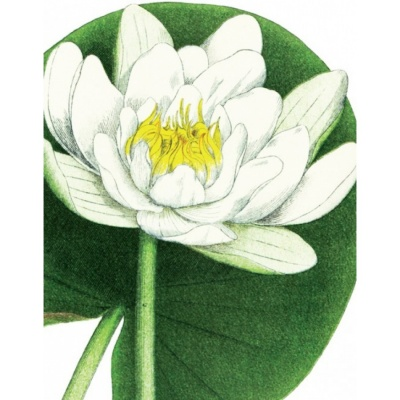 Karte White Waterlily